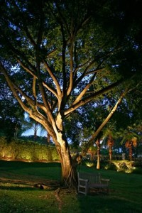 Uplighting highlights the bark, gnarled branches, and foliage of this old oak.